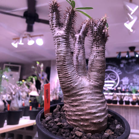 packypodium  gracilius《M  size》※現地球発根済株‼︎※しっかり発根したボコボコ&筋筋強きbalance良きグラキ‼︎※mad black pot植え