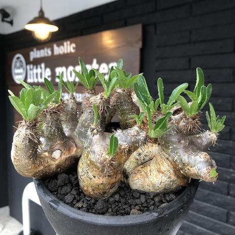 pachypodium brevicalyx《L size》※現地球発根後店主国内管理5年株※枝振り良く全体バランスも良きブレビらしい低重心※mad black bowl pot植え
