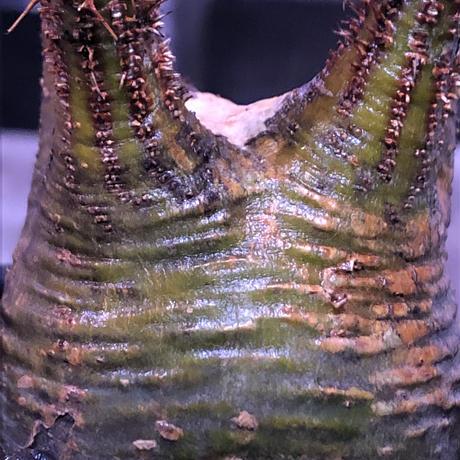 packypodium  gracilius《大きめS size》希少green肌ぼってり樹形※現地球発根済株※店主国内管理2年株※weight&枝振り良き将来有望株※mad black pot植え