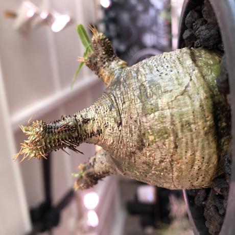 packypodium  gracilius《大きめS size》※現地球発根済株※店主国内管理2年株※横筋強きwild肌質にぼってり短枝の樹形balance良き一株※mad black pot植え