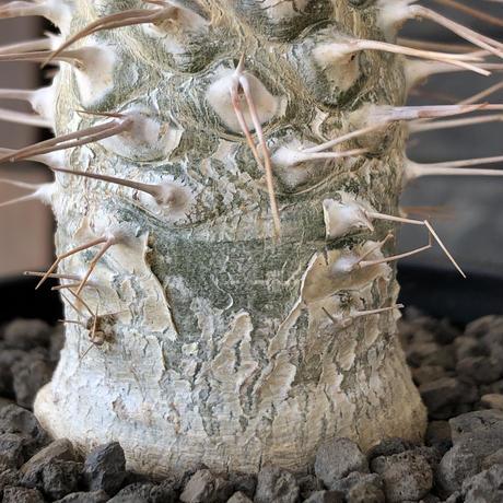 pachypodium  namaquanum 光堂《L size》littmon seed🌱※激希少‼︎ぼってり大きめ光堂‼︎時間かけ大切に育てた渾身の一株※mad  black pot植え