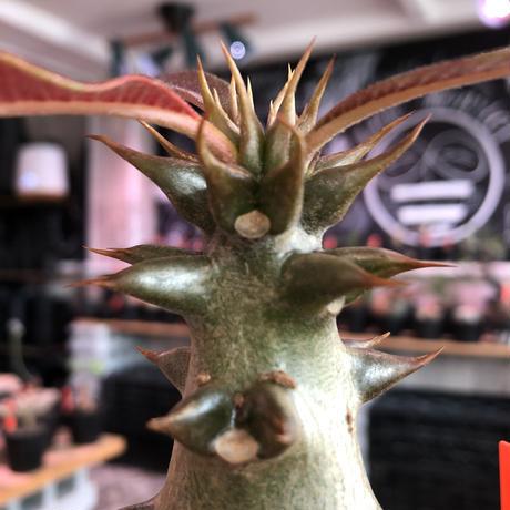 packypodium  baronii《大きめM size》※激希少‼︎現地球発根済株※現地らしい荒いstuds棘に肌質‼︎weight低めな良樹形株※mad black pot植え