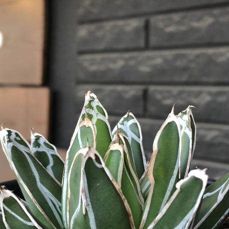 agave  笹の雪《大きめM size》※現地球発根後店主国内管理2年株※締まり良きbalanceも美しいbest size※blackプラ鉢植え
