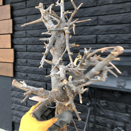 boswellia  neglecta《M size》未発根  新鮮株