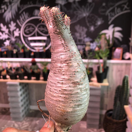 packypodium    gracilius《S size》輸入まもないまん丸新鮮株🌵vo②  限定1株