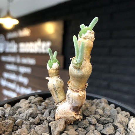monilaria  pisiformis《大きめS size》※現地球発根後店主国内管理3年株※モニラリア属(激希少最上位種)冬型caudex※mad black bowl pot植え