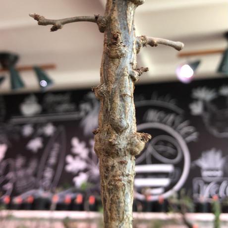 opercullicarya decaryi  littmon seed🌱 《5年株》※極太幹にボコボコ感強く選抜株‼︎枝もパワータンクも太く良株※mad  black  pot植え
