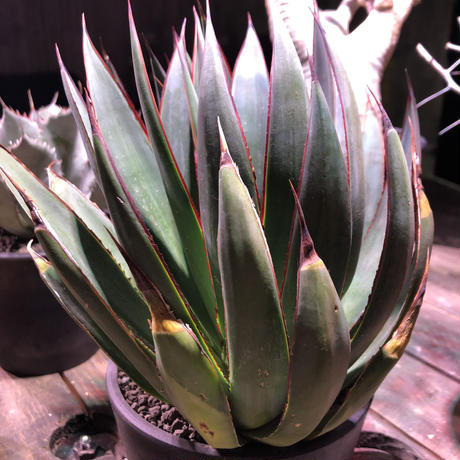 "agave    blue glow    "" W  hed""《M  size》"