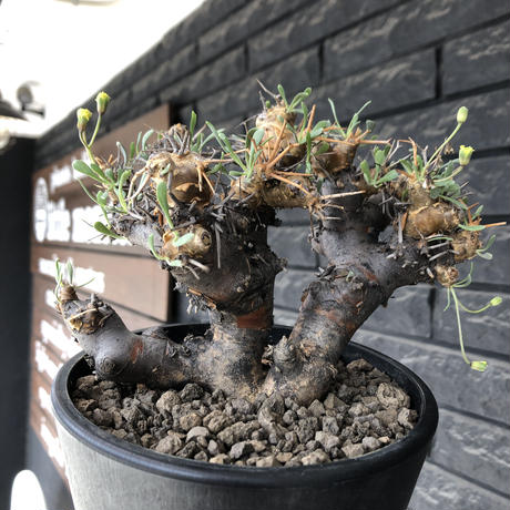 othonna  euphorbioides《L L size》※現地球発根後店主国内管理4年株※大きくどっしり構えの良balance樹形※mad black pot植え