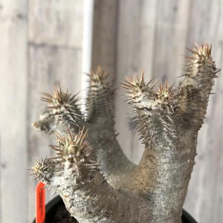 packypodium  gracilius《M  size》※現地球発根済株‼︎※四つ枝でバランス良き、可愛い白肌グラキ※mad black pot植え