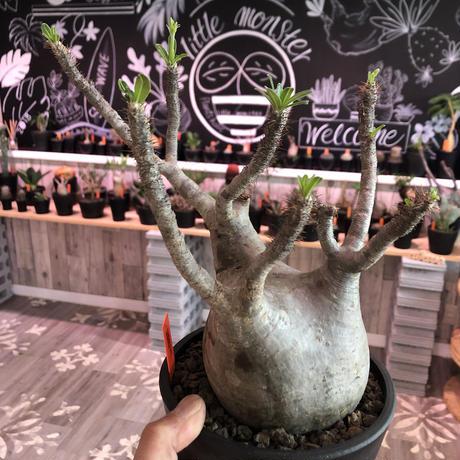 packypodium  gracilius  《L size》 ※現地球  発根済み株   mad black pot植え