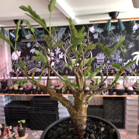 senna  meridionalis《 小さめM size》※現地球発根済株※大変幹の色が濃く、特化した肌質のセンナ‼︎上品&綺麗な逆になきサイズ感‼︎※オススメ株※mad black pot植え