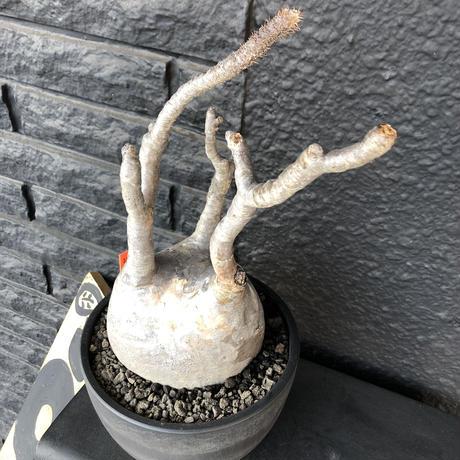 packypodium  gracilius《L L size》店主国内管理3年株※現地球発根済み株‼︎ ※大きなでっぷり球体株で現地焼けの味あるグラキ※mad black bowl pot植え