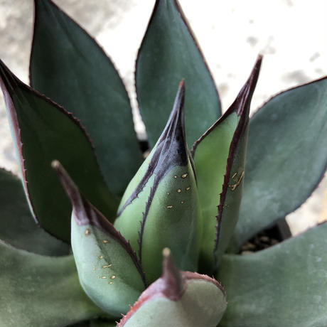agave   blue ember《M size》