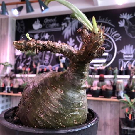 packypodium  gracilius《L size》激希少green肌※現地球発根済株※大きなパパイヤみたく激ぼってり樹形にウェイト低き良き装い※mad black bowl pot植え