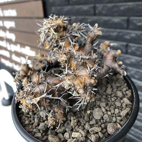 othonna  euphorbioides《L size》※現地球発根後店主国内管理4年株※weight低く低重心且つ枝振りも良き良樹形※mad black pot植え