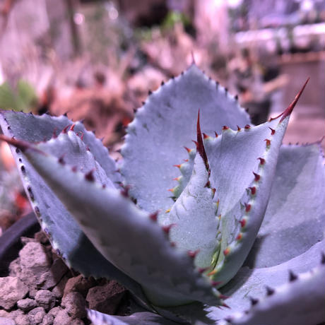 agave  pygmaea  dragon toes《M  size》※発根済株※店主国内管理2年株※良きcolor良きサイズ感‼︎極美株※mad black pot植え※限定2株