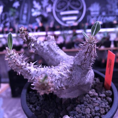 packypodium  cactipes《M  size》白肌※現地球発根済株※背中に現地での味わい深い枝折れ傷があり流れるようなbalanceの白肌カクチ※mad black pot植え