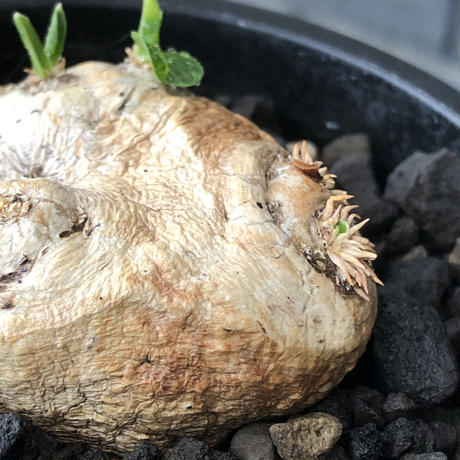 pachypodium  brevicaule恵比寿笑い《S size》※現地球発根後店主国内管理2年株※逆に流通少なき激かわサイズ‼︎ほっこりし堪らない一株‼︎※mad black pot植え