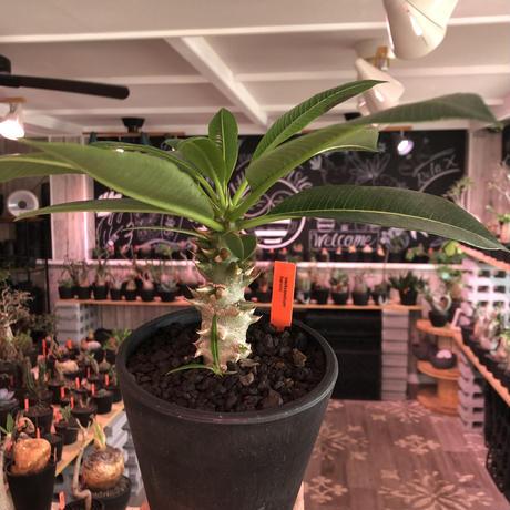 packypodium  baronii《M size》※現地実生株‼︎発根済株※現地の気候ならではの肌質‼︎将来性高き一株となりオススメ株‼︎※mad black  pot植え