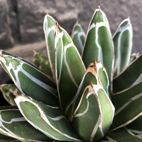 agave  笹の雪《L size》※現地球発根後店主国内管理3年株※big且つ締まり良きbalanceも美しい良樹形※blackプラ鉢植え