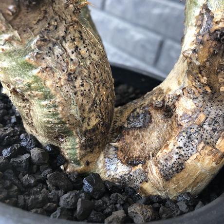 pachypodium gracilius 《L size》希少‼︎green肌 &ぼってり3-he'd株※現地球発根後店主国内管理4年株※weight低く両A面株※black bowl pot植え