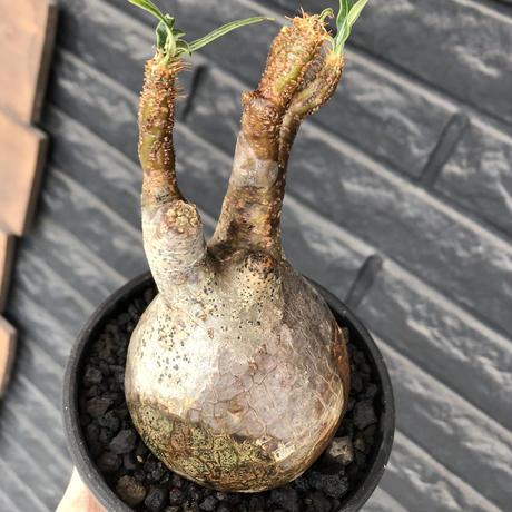 packypodium  gracilius《M size》ぼってり株※現地球発根済株※店主国内管理3年株※ぼってり樹形且つ特化した柄を持つ良きサイズ感※mad black pot植え