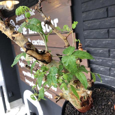 commiphora  africana《L size》※現地球発根後店主国内管理3年株※美しくbalance良き佇まい※tall pot植え
