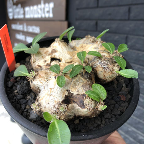 pachypodium brevicaule恵比寿笑い《大きめM size》※現地球発根後店主国内管理3年株※手乗り丁度良きサイズ感‼︎威勢よく展開中🌱※mad black pot植え