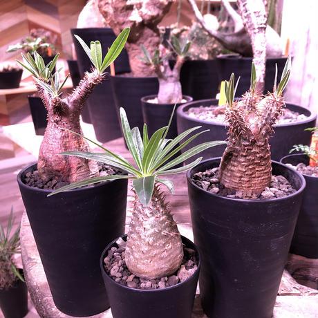 packypodium  gracilius《S S  size》※現地球株  ※発根済み株‼︎  でっぷりor赤肌