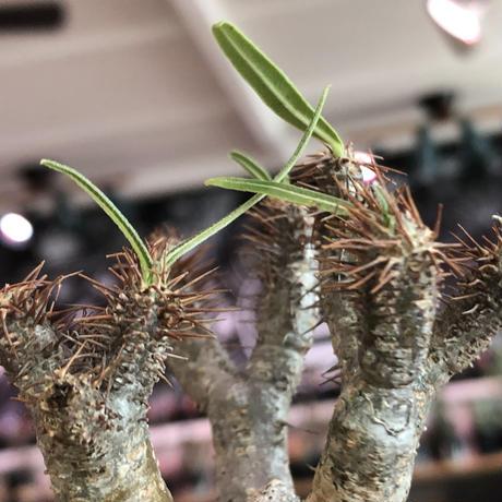 packypodium  gracilius《S size》特化したピンクベージュ肌※現地球発根済株※店主国内管理2年株※ぼつてり樹形に枝振りよく何よりカラーも堪らない※mad black pot植え
