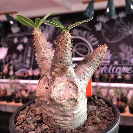 packypodium  cactipes《 M size》※現地球発根済株※とても丈は短く枝太で、枝折れ傷跡&横筋ボコボコ強にがwildカクチ‼︎※mad black pot植え