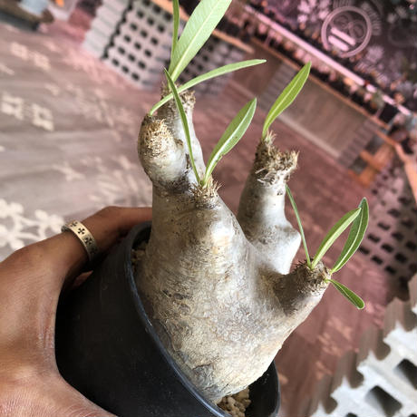 packypodium  inopinatum《S size》