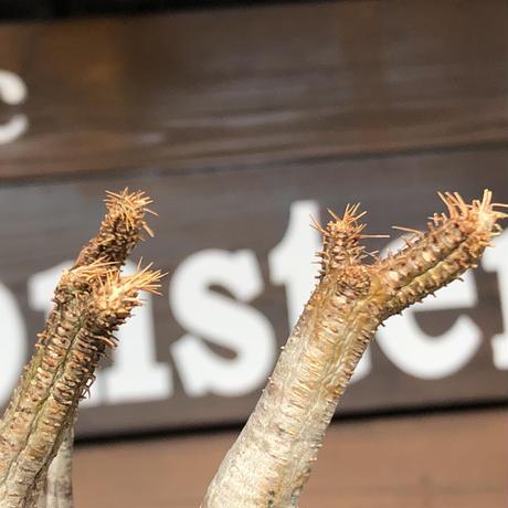 packypodium  gracilius《小さめM size》赤肌※現地球発根済株※店主国内管理3年株※大変ぼってり樹形且つ極赤肌な一株‼︎※mad black pot植え