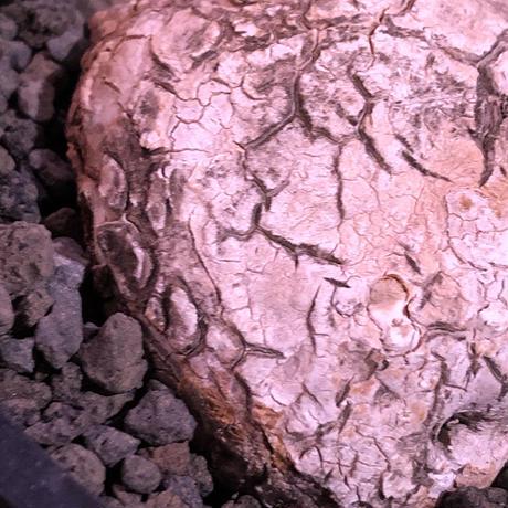 stephania venosa 《小さめM size》※現地球発根済株※恐竜の🥚卵みたくひび割れた味深き表皮にかわいいツル型の葉を展開‼︎※mad black pot植え