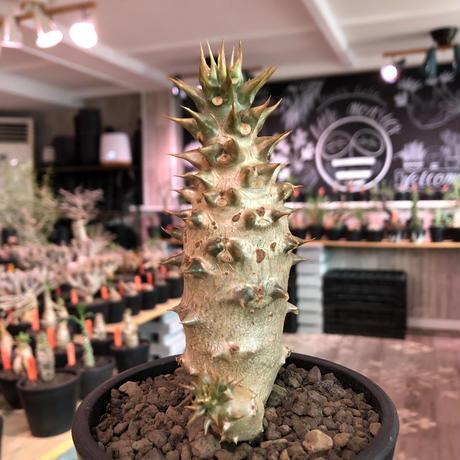 packypodium  baronii《小さめL size》※激希少‼︎現地球発根済株※現地らしい荒いstuds棘に肌質‼︎確定枝を持ちweight低めな良樹形※mad black pot植え