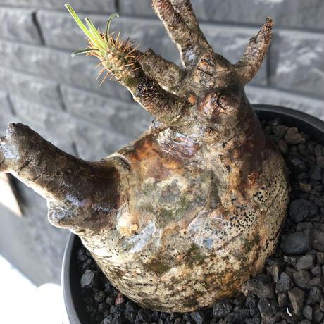 pachypodium gracilius《L size》※現地球発根後店主国内管理5年株※ぼってり良樹形な両A面‼︎選抜グラキ※mad black pot植え