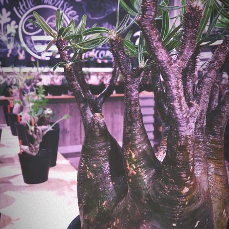 packypodium special gracilius《L L size》1周年記念vol 3※現地球発根済み株‼︎ ※肉々しい躍動枝振り※mad black marble  bowl pot植え