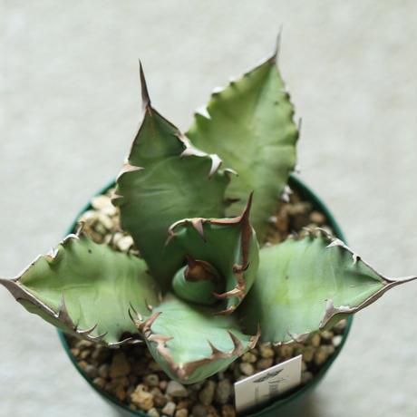 agave titanota アガベ チタノータ NO1