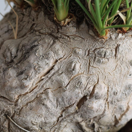 Calibanus fookeri カリバナス フーケリー