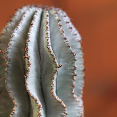 Euphorbia 特白 ポリゴナ