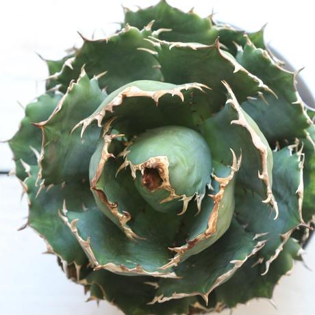 Agave titanota (N.F)