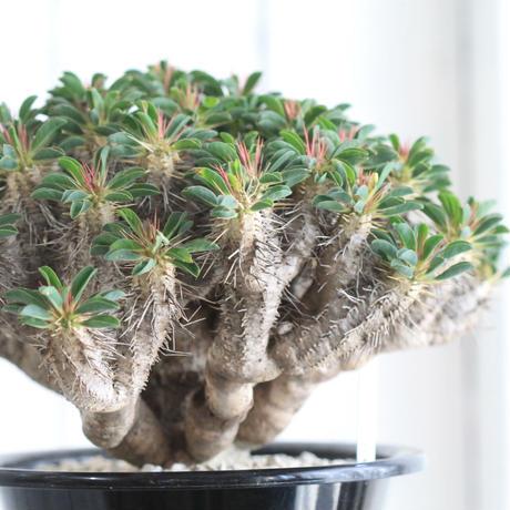 Euphorbia ギラミニアーナ