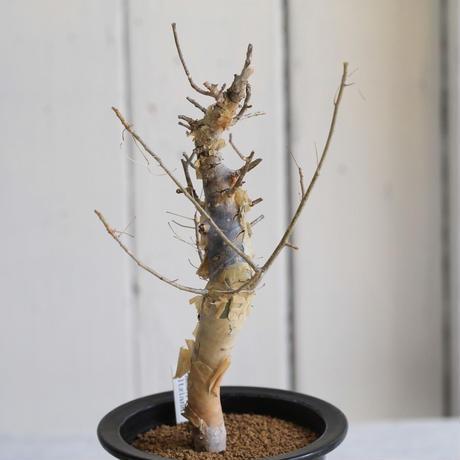 Commiphora holtziana ホルトジアナ