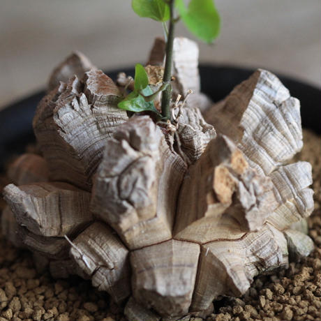 Discorea ディオスコレア・エレファンティペス 亀甲竜