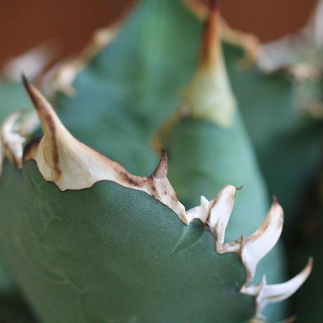 agave titanota アガベ チタノータ