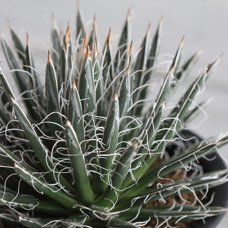 Agave 姫乱れ雪