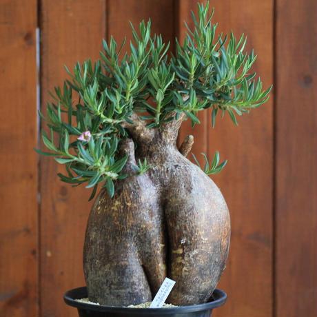 pachypodium succulentum パキポディウム サキュレンタム