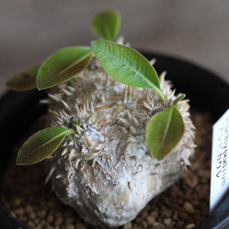 Pachypodium ブレビカウレ