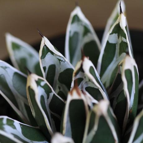 Agave Victoriae reginae 笹の雪